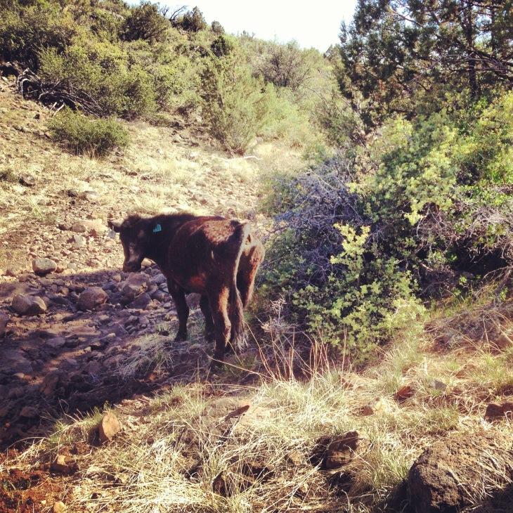Spiteful Cow